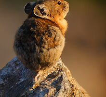 Sunset Pika by William C. Gladish