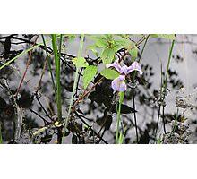 Lonely Iris Photographic Print