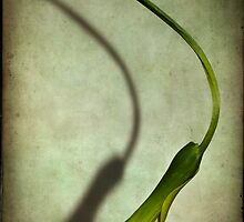 Falling calla by Barbara  Corvino