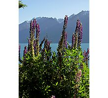 Alpine Lupins Photographic Print