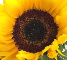 Sunflower by Robyn Williams