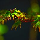 Japanese Maple by Phillip M. Burrow
