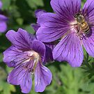 bumblebee on the hardy germanium flower by memaggie