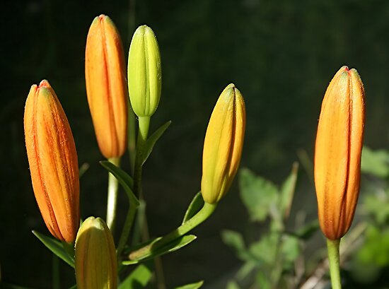 Orange Tiger Lily Buds  by Stephen Thomas