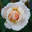 Barely Pink Rose by Carol Clifford