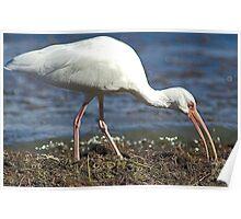White Ibis feeding Poster