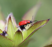LITTLE RED BUG by gypsykatz