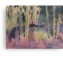 Kissing Kangaroos Metal Print