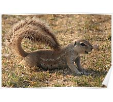 Relaxed Ground Squirrel Poster