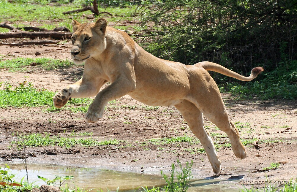 lioness leap by Rebecca Conroy