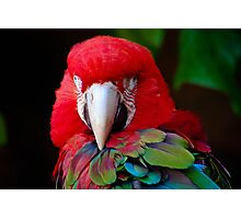 Parrot Portrait .......  Photographic Print