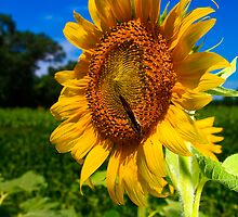 Sunflower by Leta Davenport