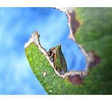 Green Horned Treehopper Photographic Print