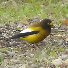 Yellow Grosbeak by MaeBelle
