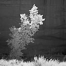 Cottonwood One by Terry Shumaker
