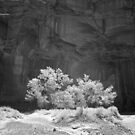 Cottonwood Two by Terry Shumaker