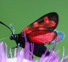 Burnet moth by loiteke