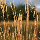 grass 2 by Kent Tisher