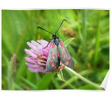 Six Spot Burnet Moth Poster