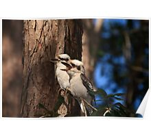 Pair of Kookaburras Poster