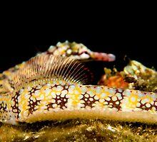 Pregnant Pipefish by daveharasti