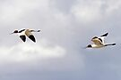 Red-necked Avocets  by Robert Elliott