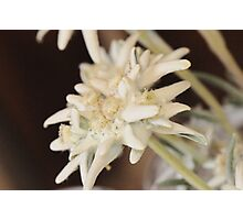 Edelweiss Photographic Print