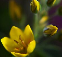 Yellow parade (from wild flowers collection) by Antanas