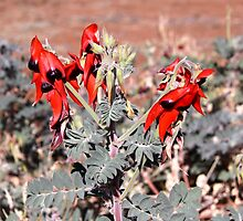 Sturt Desert Pea, Australian Inland Gardens, Mildura by Ian Williams