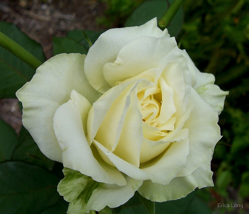 Cream Rose by Erica Long