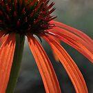 Echinacea by Denitsa Prodanova