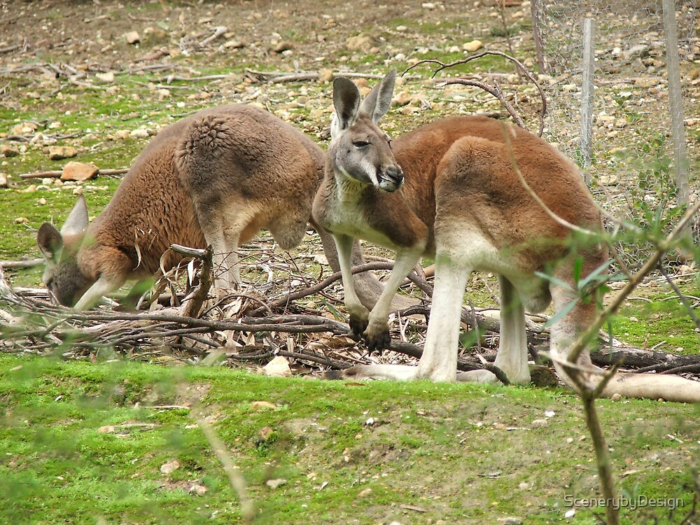 Red Kangaroos by ScenerybyDesign