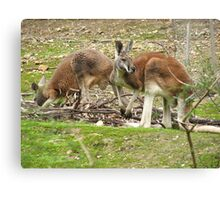 Red Kangaroos Canvas Print