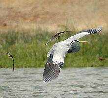 Uganda - Elizabeth Park - Grey Heron flying with swallows by Marieseyes