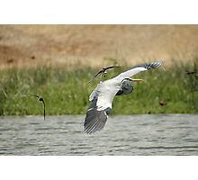 Uganda - Elizabeth Park - Grey Heron flying with swallows Photographic Print