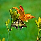 Butterfly on Lily by ericseyes