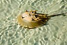 Horseshoe Crab Swim by Mary Campbell