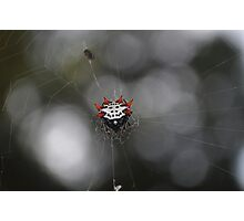 Spinyback Orbweaver Photographic Print