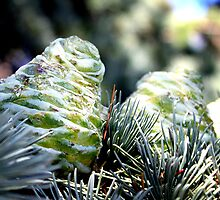 Fir Cone by Henrik Lehnerer