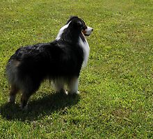 Black Tri-Color Australian Shepherd by Anne Smyth