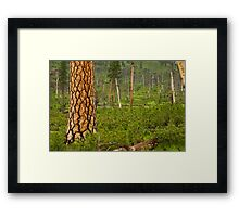 Pine Tree in Spring. Framed Print