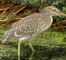 Young Black-Crowned Night-Heron by ChuckCheatham
