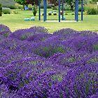 """""""Italian Lavender"""" by Lynn Bawden"""