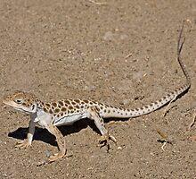 Long-nosed Leopard Lizard by Jim Johnson