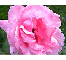 Two-tone Pink Rose.... Photographic Print