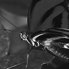 Charcoal black butterfly by kellimays