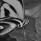 In black and white A BUTTERFLY by kellimays