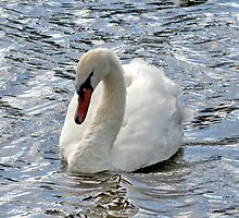 Swan on a Breezy Day by AnnDixon