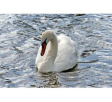 Swan on a Breezy Day Photographic Print