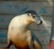 Zoo collection - good looking seal by sunset